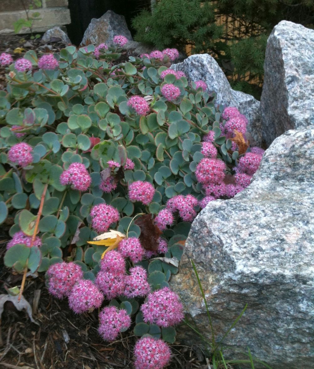 adelaparvu-com-despre-plante-suculente-rezistente-la-frig-text-carli-marian-in-foto-sedum-sieboldii