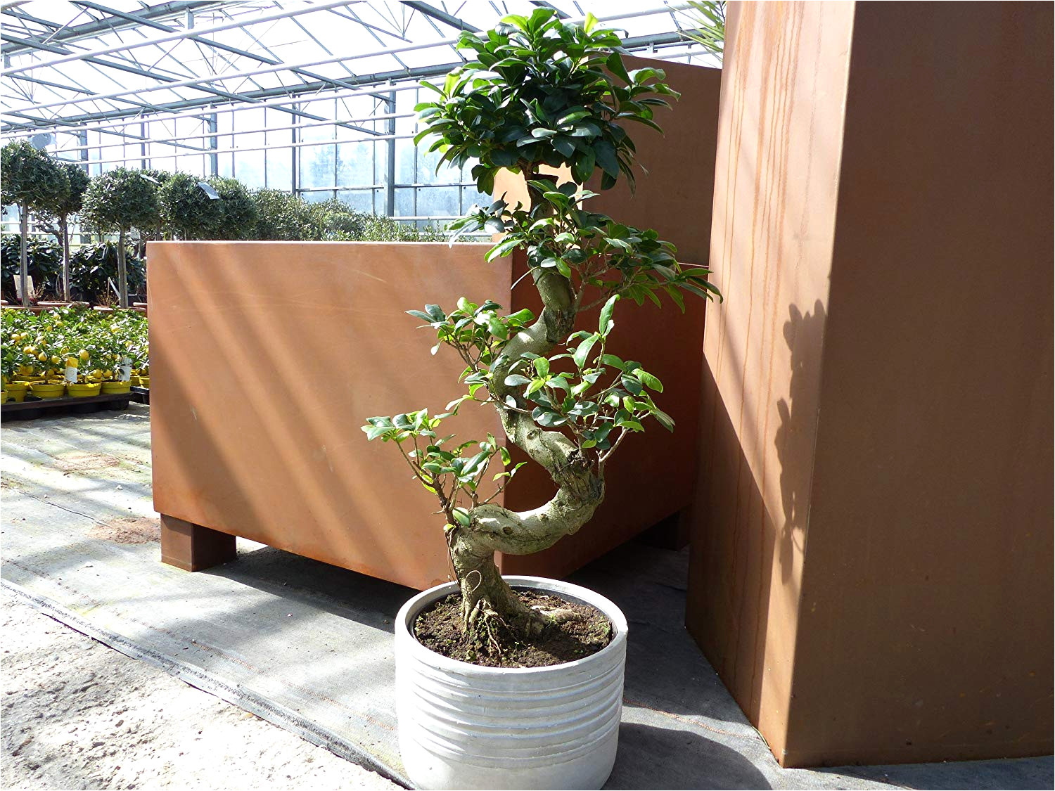 Ficus Ginseng Pflege Care Of Ficus Microcarpa Ginseng Ficus Microcarpa Ginseng