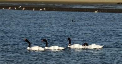 caulín - cisnes de cuello negro - chiloé - cuarteto