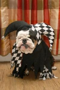 Top 10 English Bulldog 2018 Halloween Costumes To Will ...