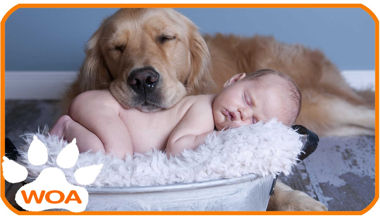 Cute Rottweiler Puppy Wallpaper Golden Retrievers And Babies Loving Each Other Are The