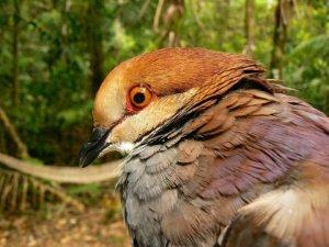 quaildove