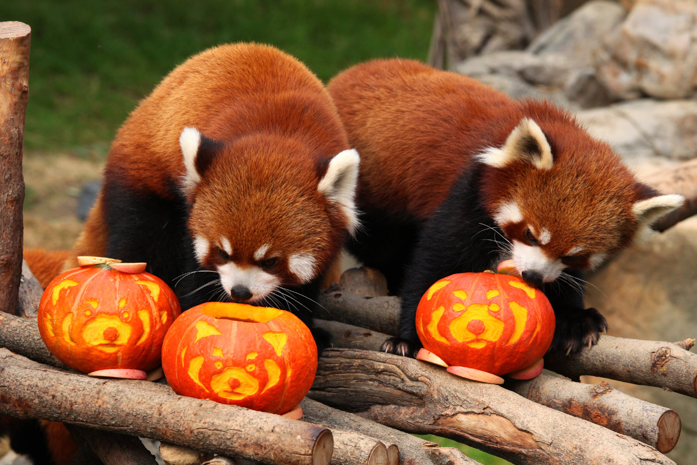 Cute Ducks In Water Wallpaper Red Pandas Celebrate Halloween Adorable Animals For Lois