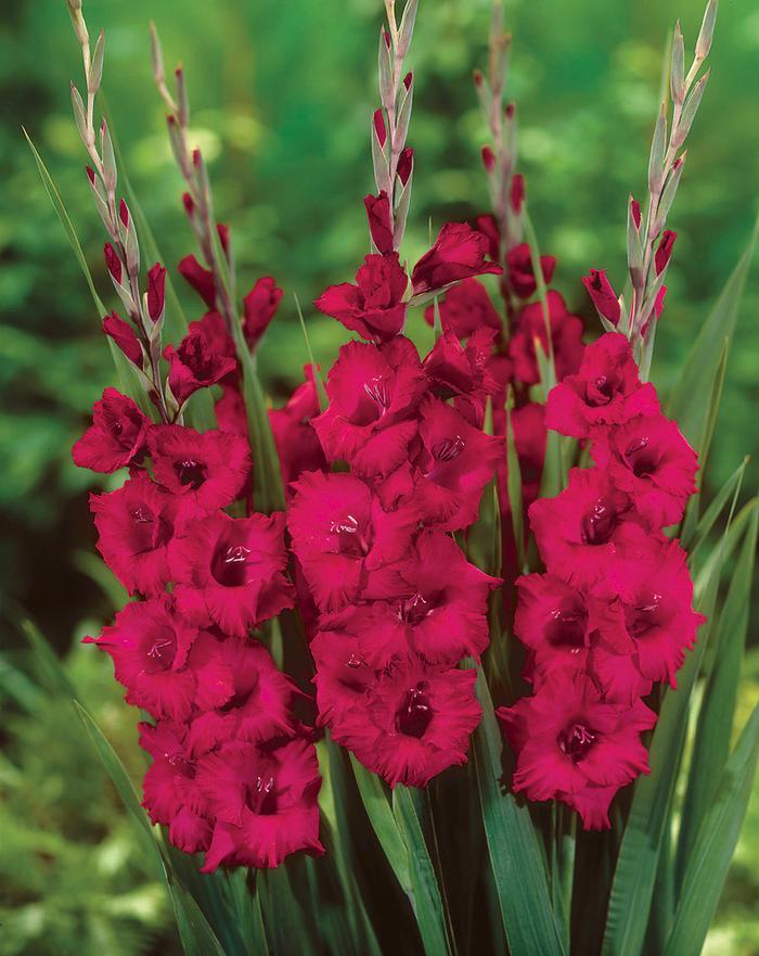 Blue Flower Bulbs Gladiolus Large Flowering 'plum Tart' Gladiolus From Adr Bulbs