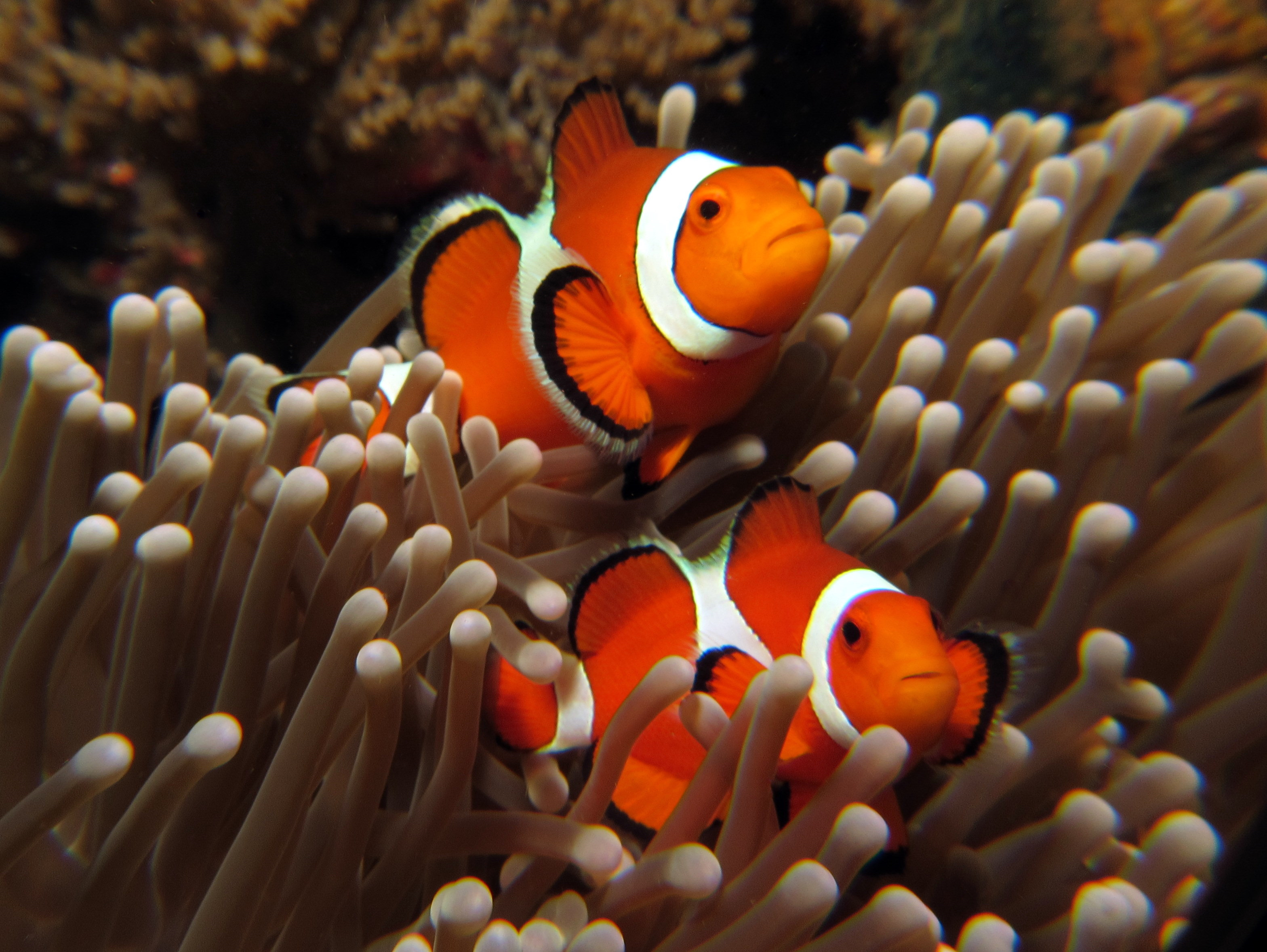 Under The Sea Wallpaper Hd Reference Clownfish 3dbose