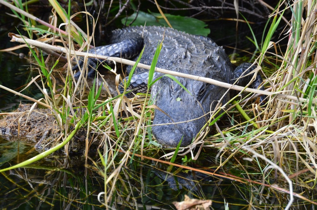 Another Alligator on the Anhinga Trail