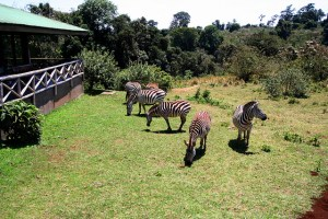 Zebras often graze right outside the Rhino Lodge.  This is a great base for your safari into the Ngorongoro Crater.