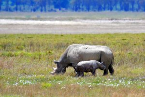 The Ngorongoro Crater is the easiest place in the northern circuit to see rhinos.