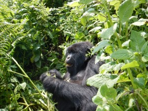 20160801-rwanda-gorillas-close (59) (Large)