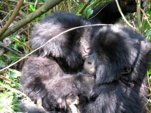 20160801-rwanda-gorillas-close-tmrc (7) (Large)