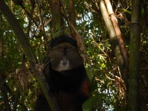 20160802-rwanda-golden-monkeys (2)