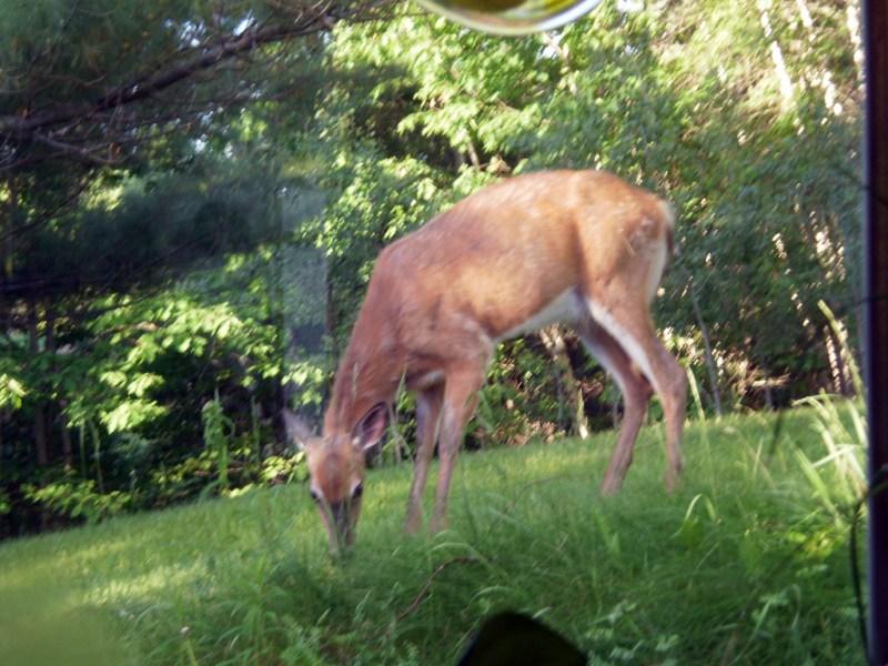 Deer grazing - photographed through a window.