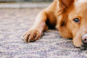 How To Remove Dog Urine Smell From Carpet Pet Health