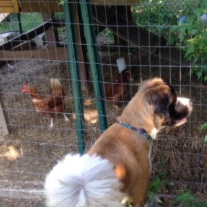 max and chickens