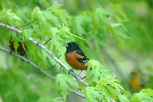 Orchard Oriole...plus two friends in the background.