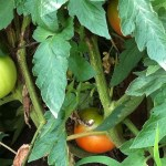 Tomatoes on the Vine!  (Photo Credit: Adroit Ideals)