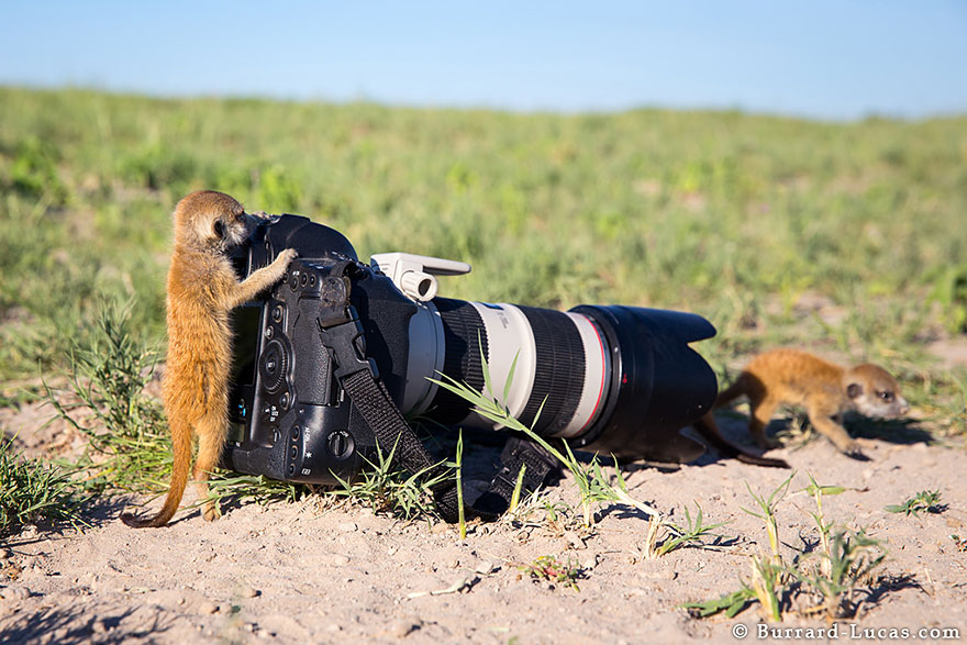 meerkats-human-lookout-post-photography-will-burrard-lucas-3