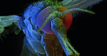 ^BAnopheles mosquito.^b Coloured scanning electron micrograph (SEM) of a female ^IAnopheles gambia^i mosquito. The SEM shows the mosquito's head (centre), part of its body (lower left), its legs (lower centre), and its wings (centre left and upper right). Structures on its head include its large compound eyes, two antennae, and a long proboscis (lower right). This proboscis is used to feed on blood, such as that of humans. ^IA. gambia^i is found in Africa, where it is a vector for the ^IPlasmodium^i protozoa that causes malaria. Magnification: x62 when printed 10cm wide.