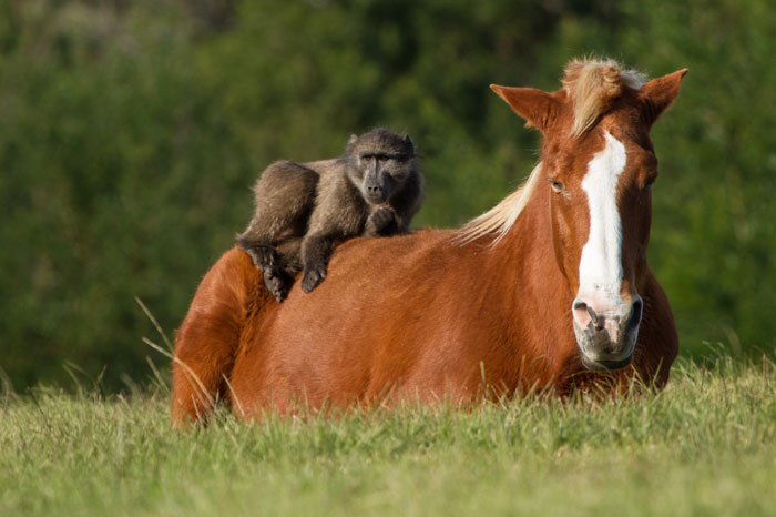 Cute Chinese New Year Wallpaper Baboons And Horses Monkey Around Africa Geographic