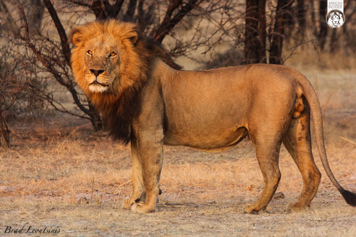 Animated Lion Wallpaper Hd One Lion S Life A Lesson About Hunting Africa Geographic