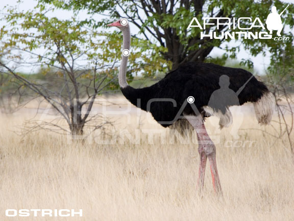 Hunting With Shot Hunting Ostrich | Hunting