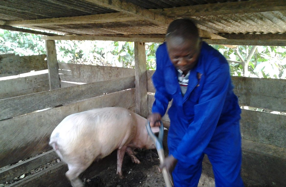 Piggery: How To Build A Lucrative African Business From Scratch