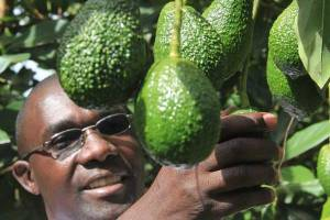 african business avocado
