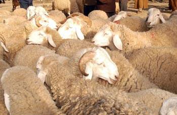 Le ministère du Commerce a décidé d'importer 10 000 ovins d'Espagne pour couvrir la demande nationale pour l'Aïd el Idha 2013