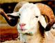 Interrogé par le journal Achourouk sur l'augmentation exorbitante du prix du mouton cette année