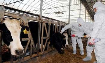 Suite à l'apparition de la fièvre aphteuse qui a atteint des bovins en Tunisie