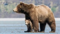 Bears - Unknown - A documentary that follows an Alaskan bear family as its young cubs are taught life's most important lessons.