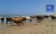 قطيع من الأبقار يستمتع بوقته على شاطئ المدينة
