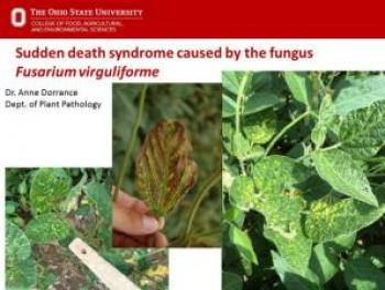 Sudden Death Syndrome