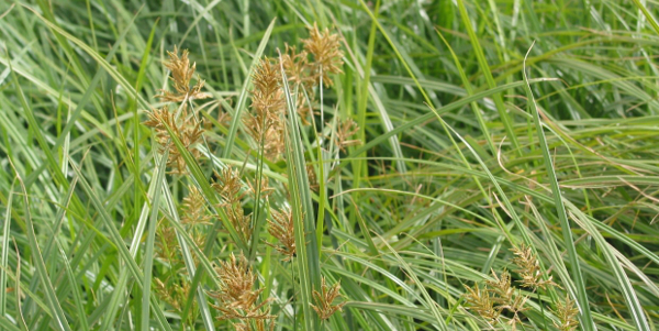 Soybeans, Rice Herbicide Resistant Nutsedge May be Result of