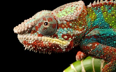 8589130579962-chameleon-wallpaper-hd