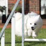 Hvad man lærer om at løbe med en lille hund, af at løbe med en stor