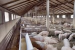 pork exports