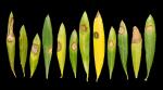 new olive disease
