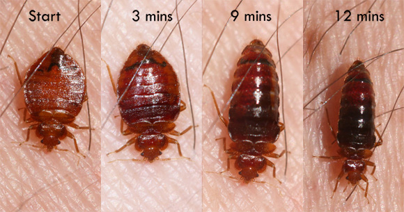 Bed bugs - Insects in the City