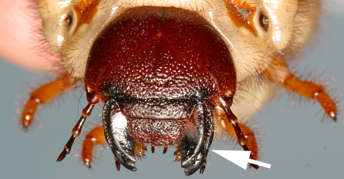 What are mouthparts on insects like, and how can I see them
