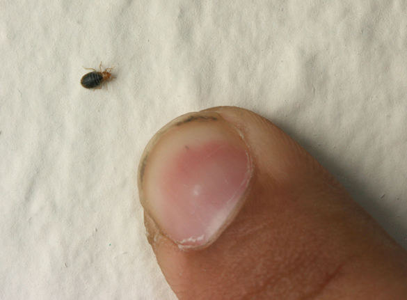 Bed bugs and your apartment - Insects in the City