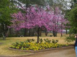 Small Of Forest Pansy Redbud