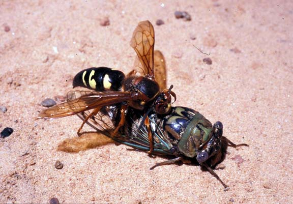 Ground-Nesting Wasps and Bees « Landscape IPM