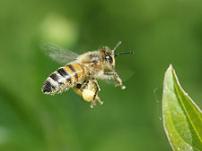 225px-Apis_mellifera_(in_flight)