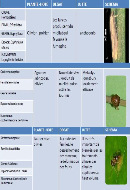 Les insectes ravageurs de l olivier agronomie - Psylle de l olivier ...