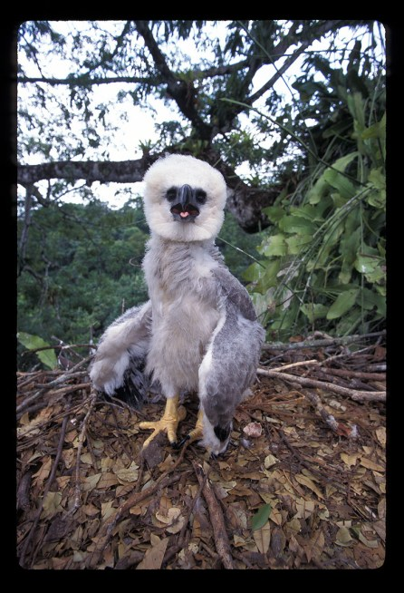 Harpy Eagle Chick 3