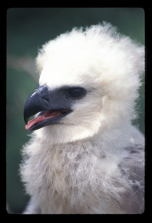 Harpy Eagle Chick Head