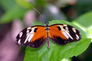 Panama Butterfly