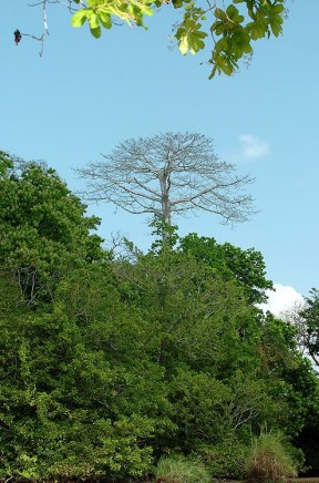 Panama Emerget Tree
