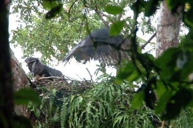 Panama HArpy Nest 4